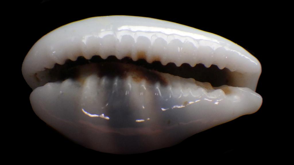 Palmadusta asellus - (Linnaeus, 1758) Rimg0729
