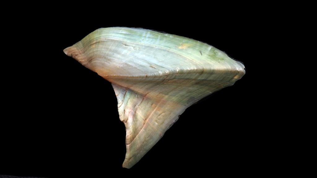 Hyriopsis bialata Simpson, 1900 Rimg0816