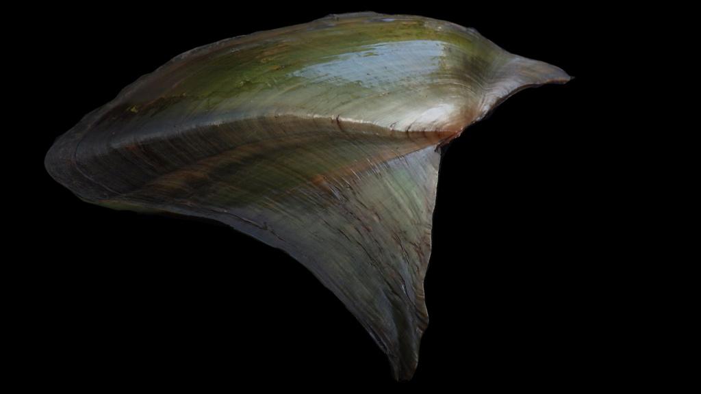 Hyriopsis bialata Simpson, 1900 Rimg0818