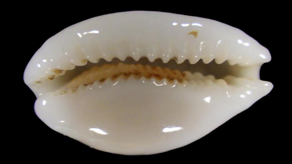 Cribrarula cribraria exmouthensis rottnestensis Rimg1014