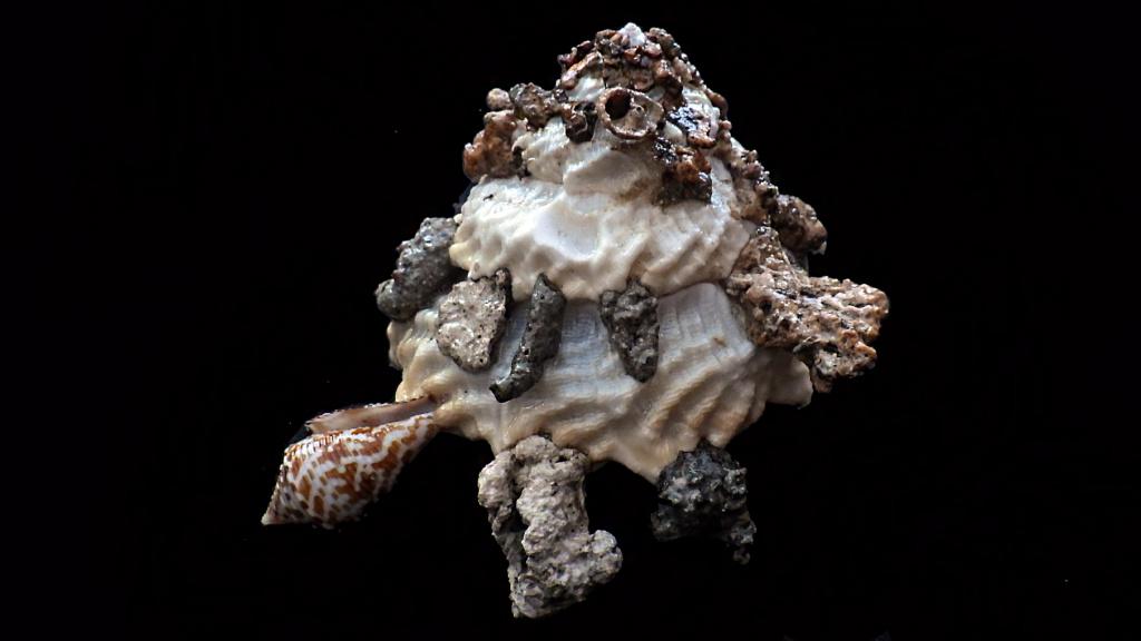 Xenophora granulosa - Ponder, 1983  Rimg1816