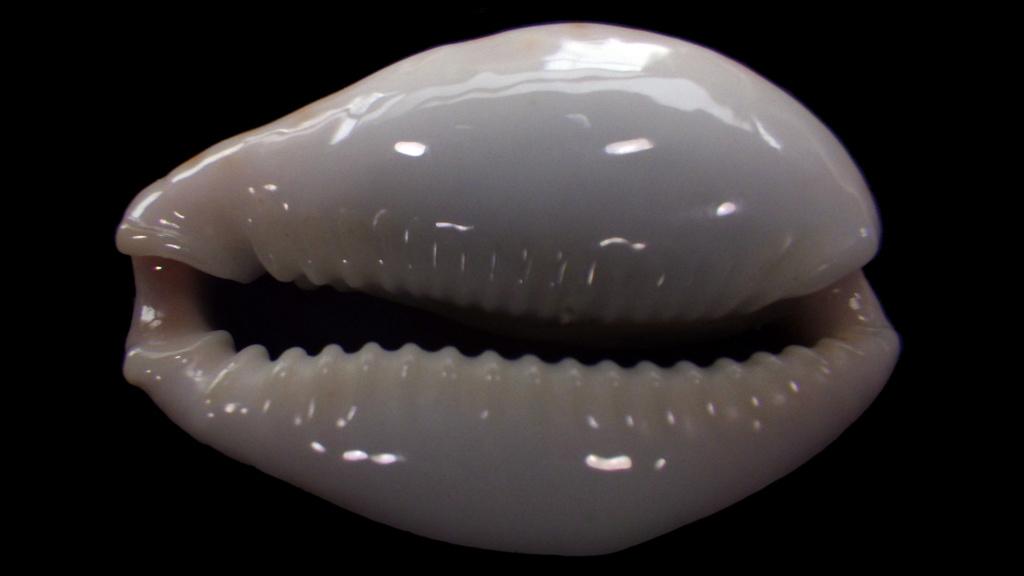 Naria boivinii - (Kiener, 1843) Rimg2115