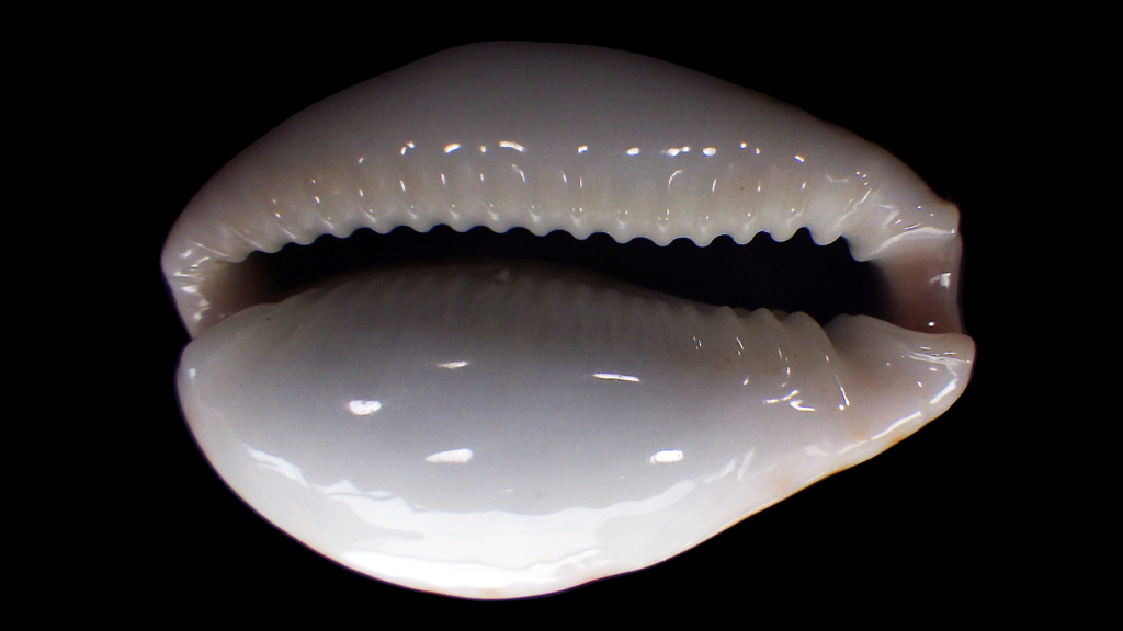 Naria boivinii - (Kiener, 1843) Rimg2116