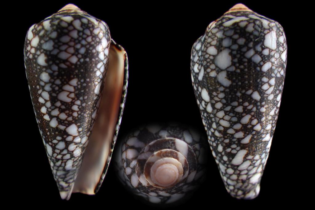 Conus (Darioconus) madagascariensis  Sowerby II, 1858 Rimg4214