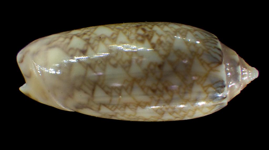Americoliva circinata jorioi (Petuch, 2013) - Worms = Oliva circinata circinata Marrat, 1871 Rimg4312