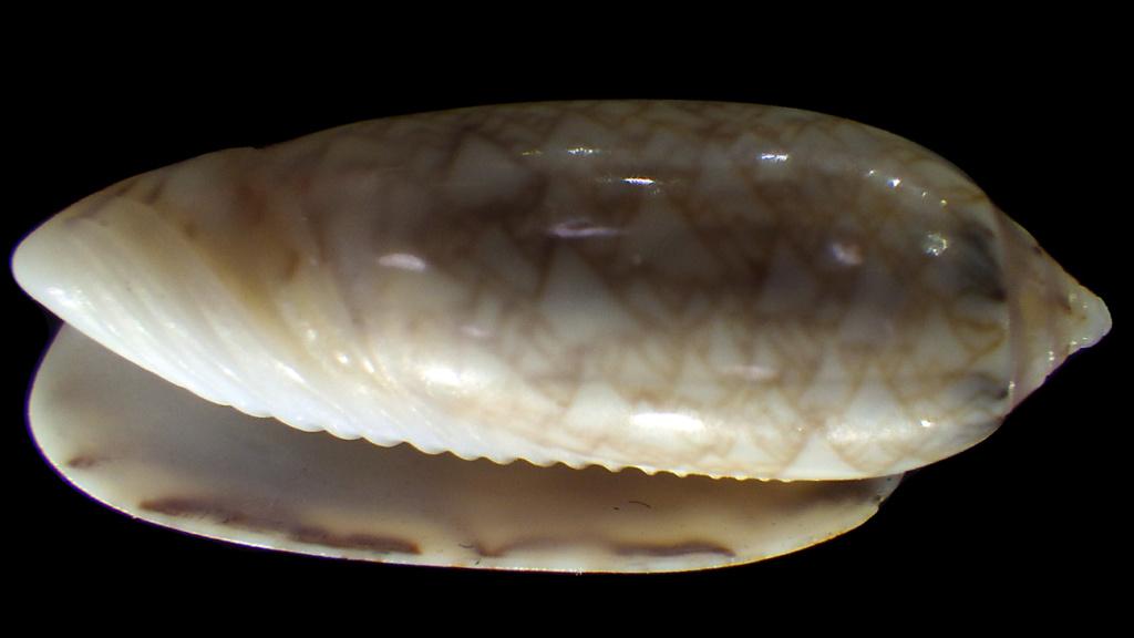 Americoliva circinata jorioi (Petuch, 2013) - Worms = Oliva circinata circinata Marrat, 1871 Rimg4313