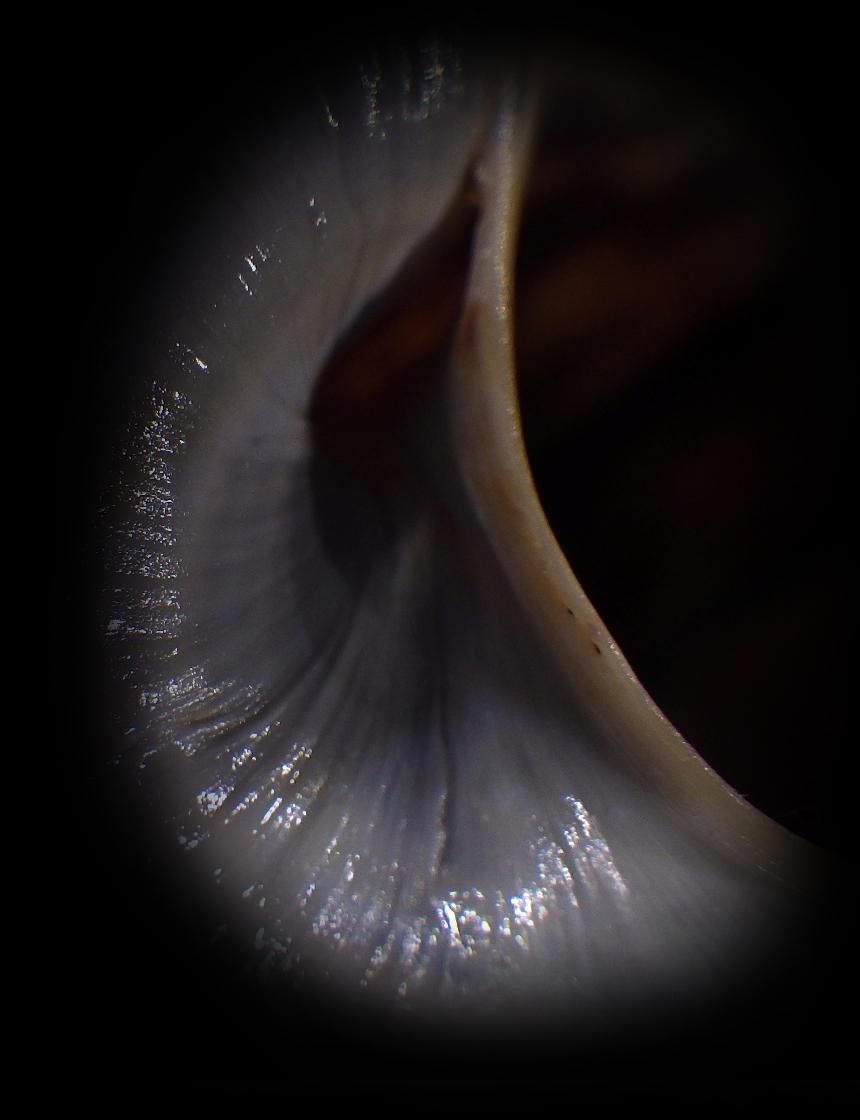Peut être une étiquette fantaisiste : Ampullariidae Pila dolioides Reeve, 1843  ??? Rimg4314