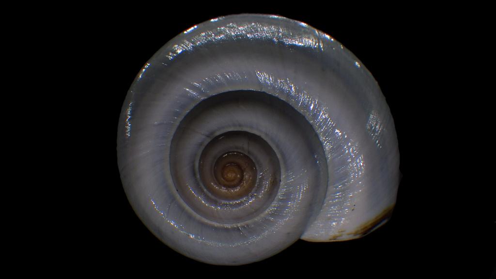 Peut être une étiquette fantaisiste : Ampullariidae Pila dolioides Reeve, 1843  ??? Rimg4316