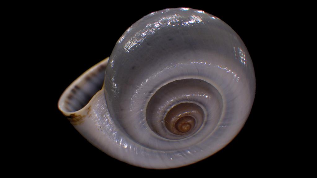 Peut être une étiquette fantaisiste : Ampullariidae Pila dolioides Reeve, 1843  ??? Rimg4318