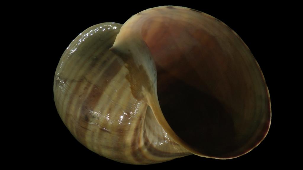 Ampullariidae Pila dolioides Reeve, 1843 ??? Rimg4319