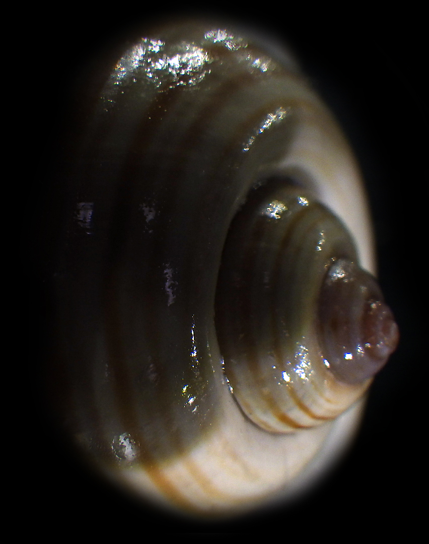 Ampullariidae Pila dolioides Reeve, 1843 ??? Rimg4322