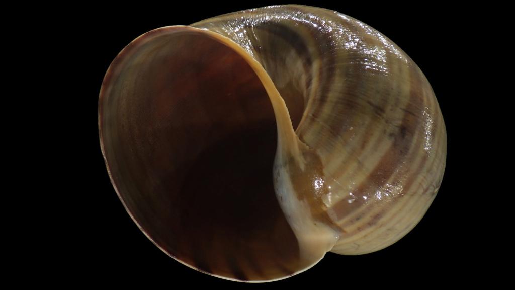 Ampullariidae Pila dolioides Reeve, 1843 ??? Rimg4323