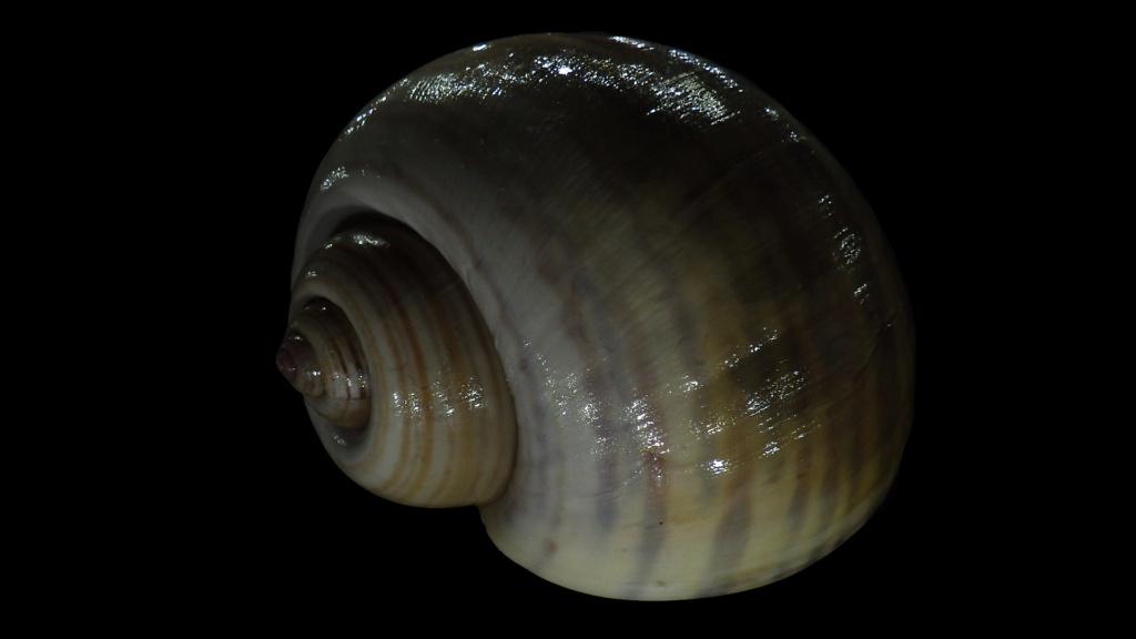 Ampullariidae Pila dolioides Reeve, 1843 ??? Rimg4324