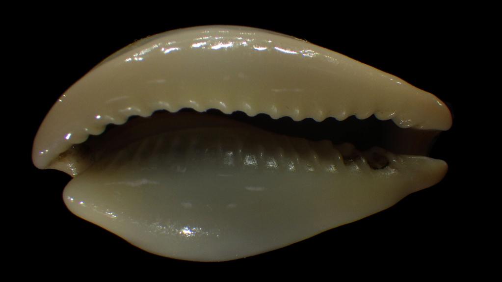 Erronea subviridis anceyi - (Vayssière, 1905) voir Erronea subviridis (Reeve, 1835) Rimg4341