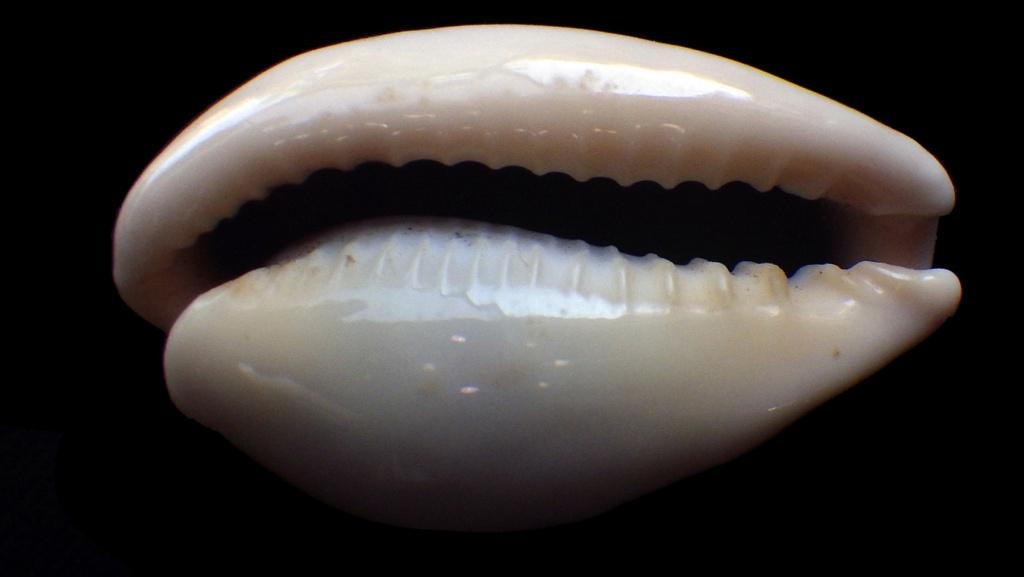 Erronea subviridis vaticina - (Irédale 1931) Rimg4345