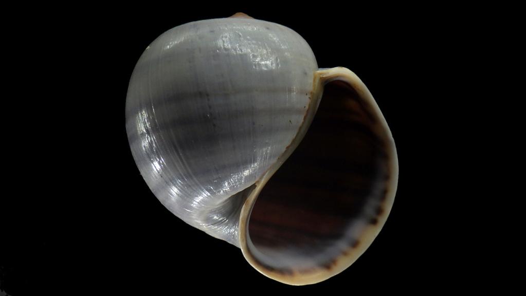 Peut être une étiquette fantaisiste : Ampullariidae Pila dolioides Reeve, 1843  ??? Rimg4410