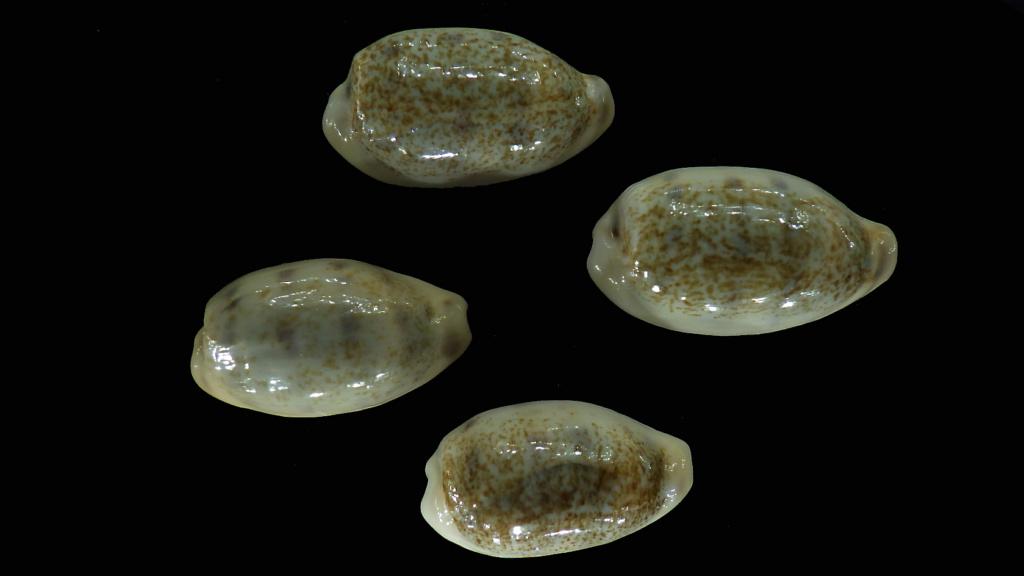 Blasicrura pallidula pallidula - (Gaskoin, 1849) Rimg5210