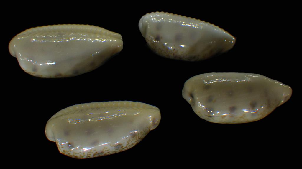 Blasicrura pallidula pallidula - (Gaskoin, 1849) Rimg5212