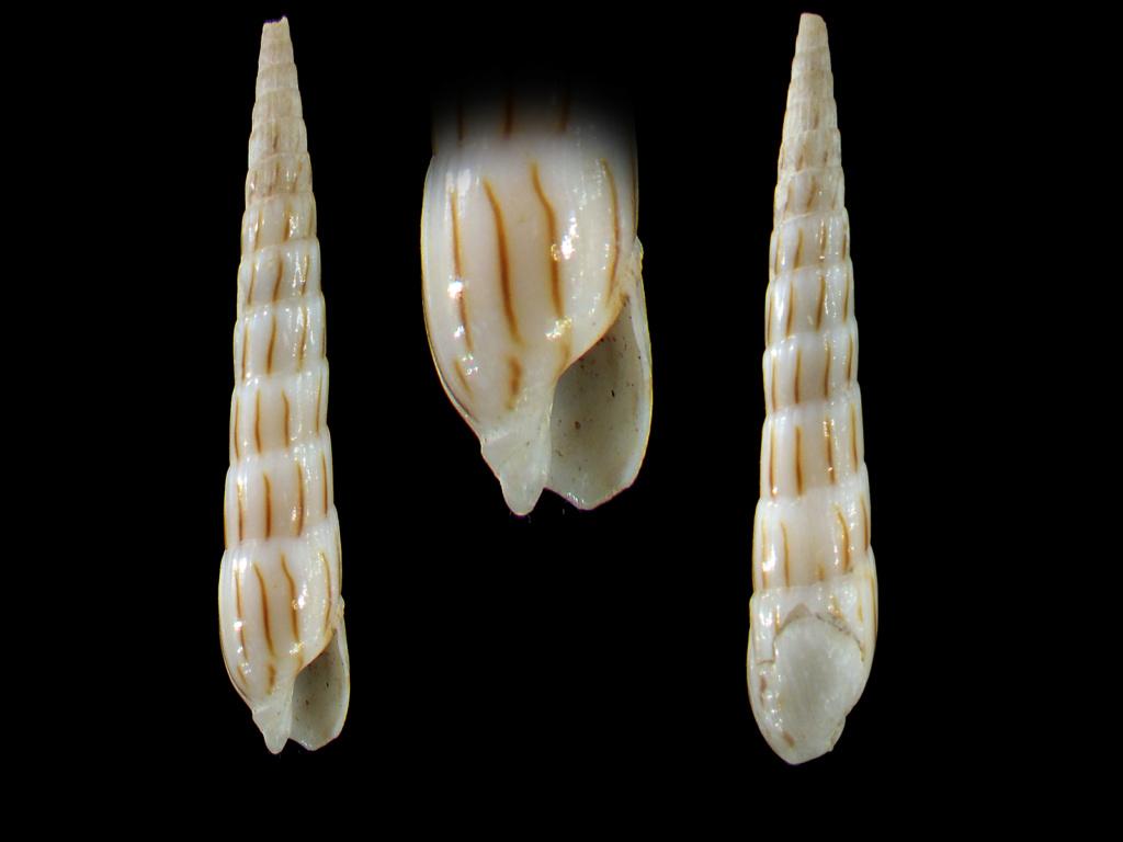 Hastula lanceata (Linnaeus, 1767) Rimg6114