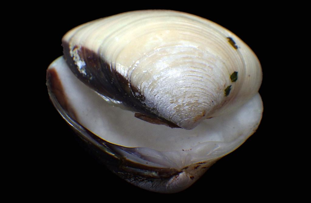 Meretrix lyrata - (G. B. Sowerby II, 1851)  Rimg8410