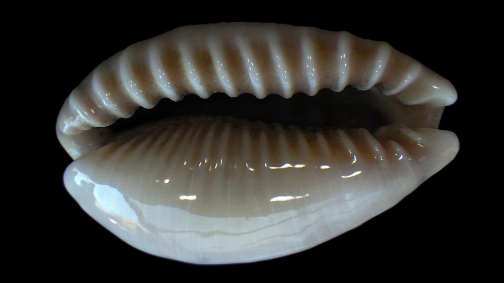 Erronea caurica mayottensis - Vachon & Verneau, 2017 Rimg8421
