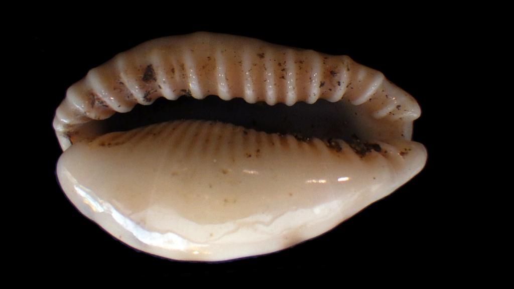 Erronea caurica mayottensis - Vachon & Verneau, 2017 Rimg8425