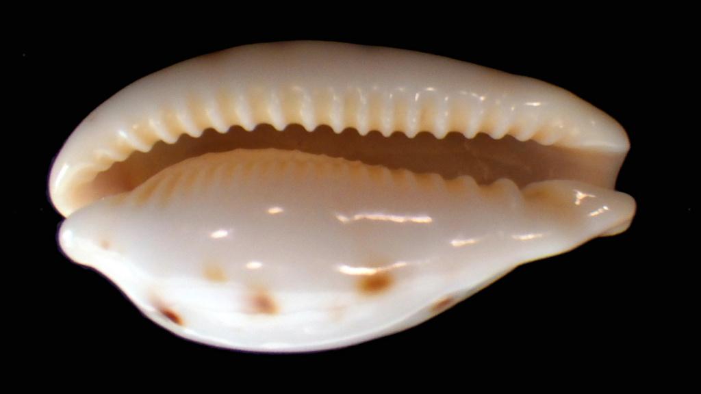 Palmadusta saulae siasiensis - (Cate, 1960) Rimg8912