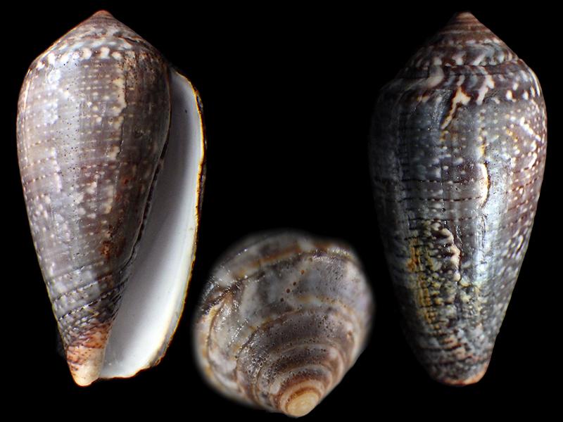 Conus (Pionoconus) monachus Linnaeus, 1758 Rimg9010