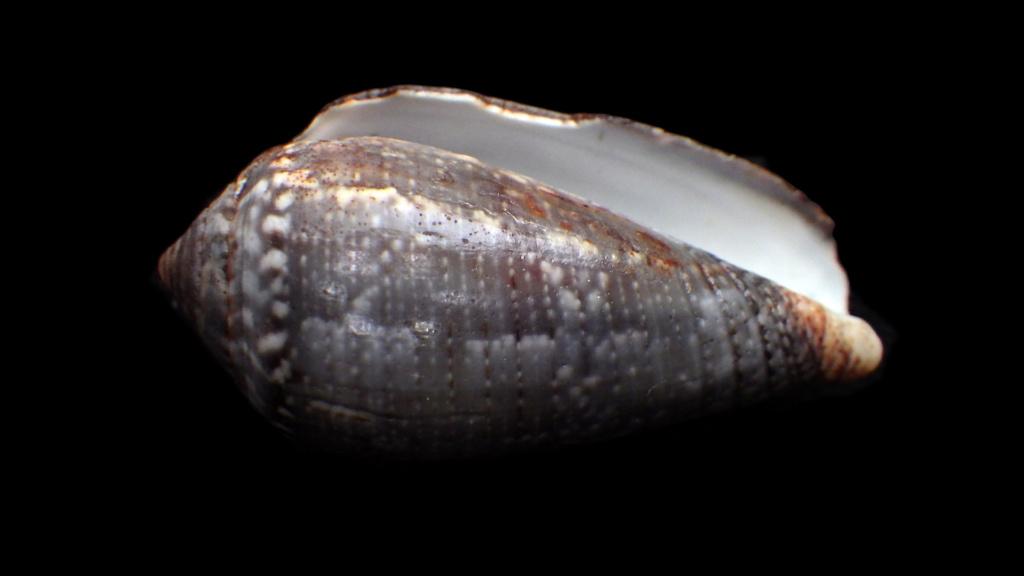 Conus (Pionoconus) monachus Linnaeus, 1758 Rimg9011