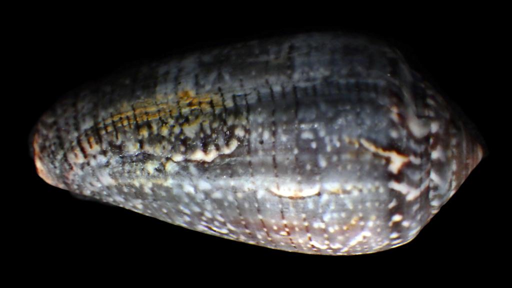 Conus (Pionoconus) monachus Linnaeus, 1758 Rimg9013