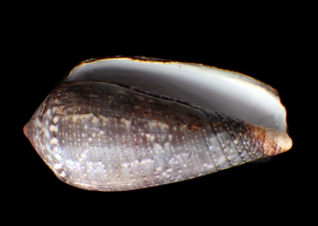 Conus (Pionoconus) monachus Linnaeus, 1758 Rimg9014