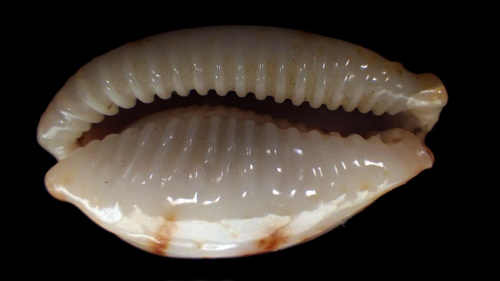 Achetées pour Bistolida stolida aureliae avec tout le doute que ça comporte Rimg9017