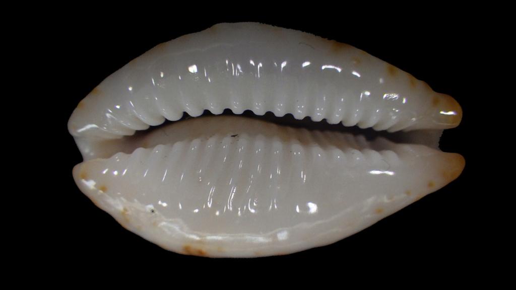 Achetées pour Bistolida stolida aureliae avec tout le doute que ça comporte Rimg9022
