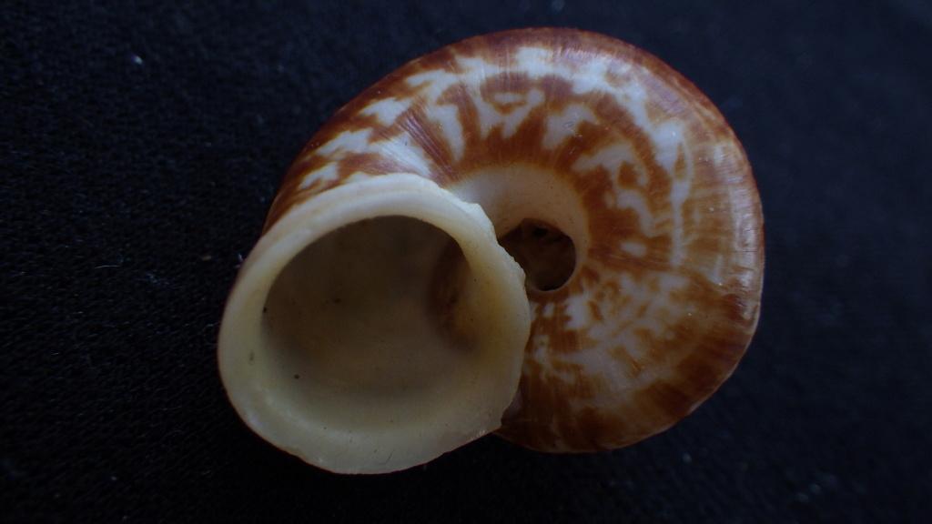 Cyclophorus semperi (Kobelt, 1886) Rimg9220
