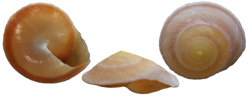 Chloraea fibula (Broderip in Reeve, 1842) ou Geophorus romblonensis Bartsch, 1918 ? Rimg9222