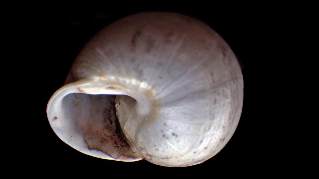 Massylaea vermiculata (O.F. Müller, 1774)  Rimg9315