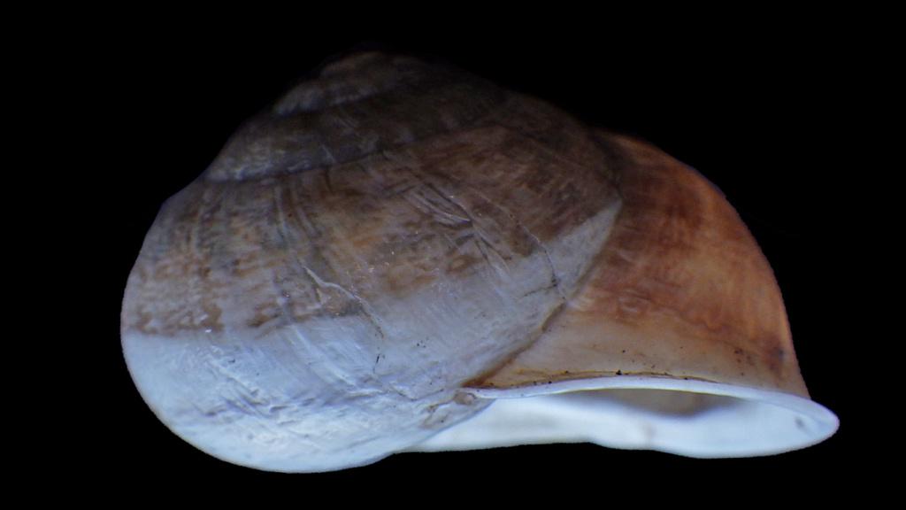 Massylaea vermiculata (O.F. Müller, 1774)  Rimg9317