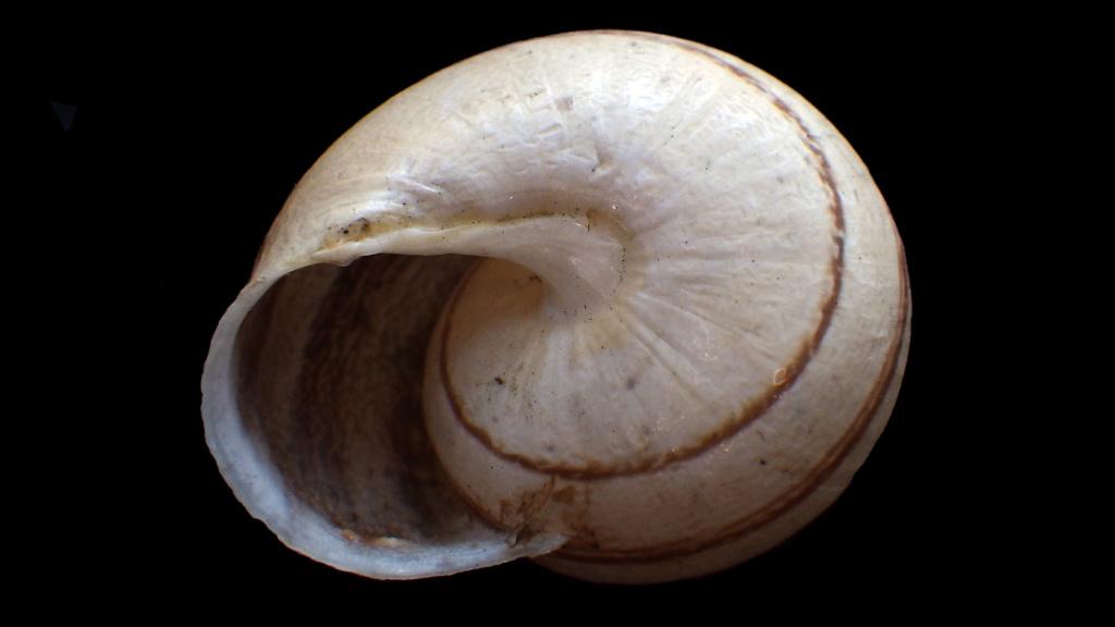 Massylaea vermiculata (O.F. Müller, 1774)  Rimg9318