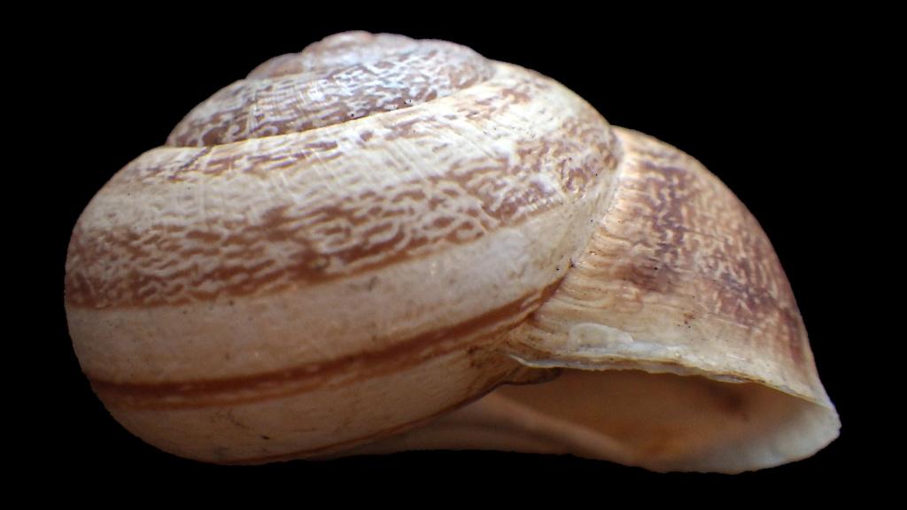 Massylaea vermiculata (O.F. Müller, 1774)  Rimg9321