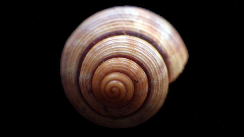 Tropidophora probablement mal étiqueté Rimg9511