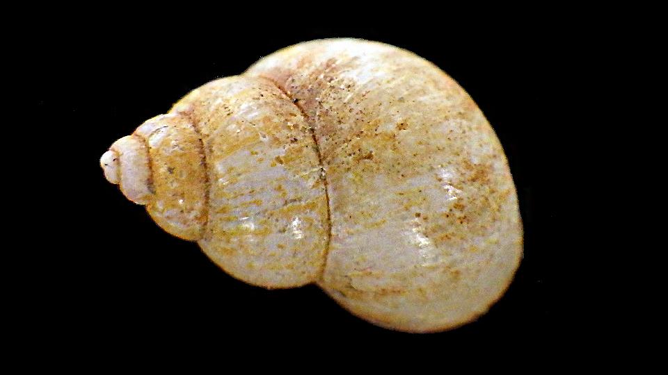 Bithynia tentaculata - (Linnaeus, 1758) Rimg9521