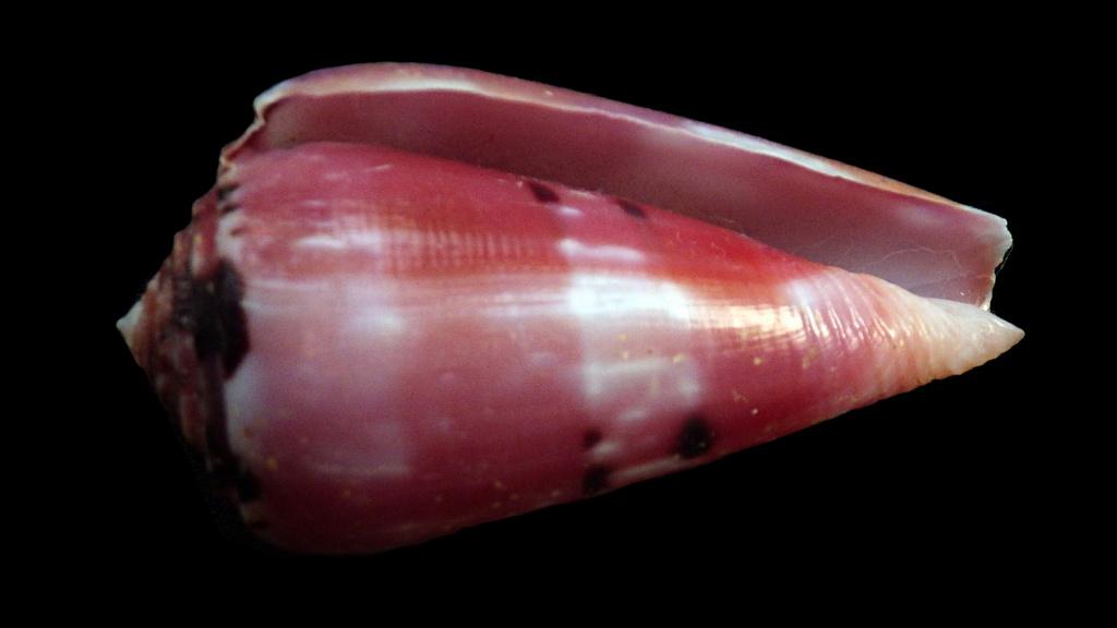 Conus (Pionoconus) gauguini  Richard & Salvat, 1973 - Page 7 Rimg9614