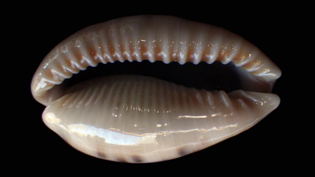 Erronea caurica masirensis Bergonzoni M, 2018 Rimg9719