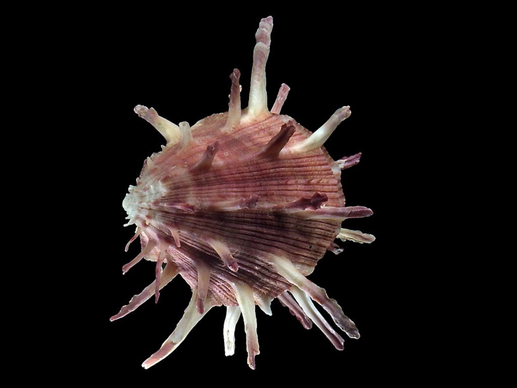 Spondylus regius - Linnaeus 1758 Spondy23