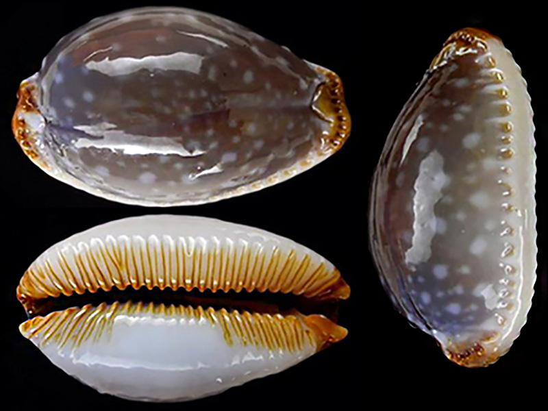 Staphylaea limacina clarissa - Lorenz, 1989 Staphy11
