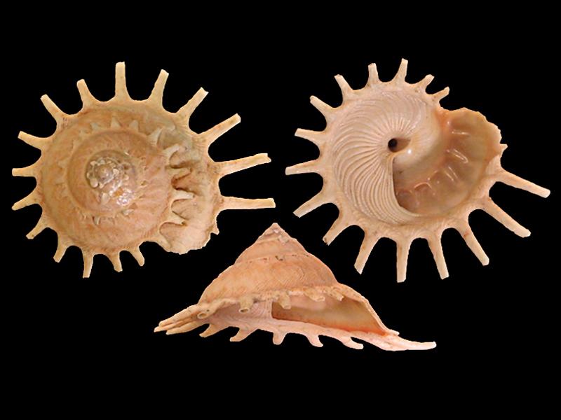Stellaria solaris - (Linnaeus, 1764) Stella13