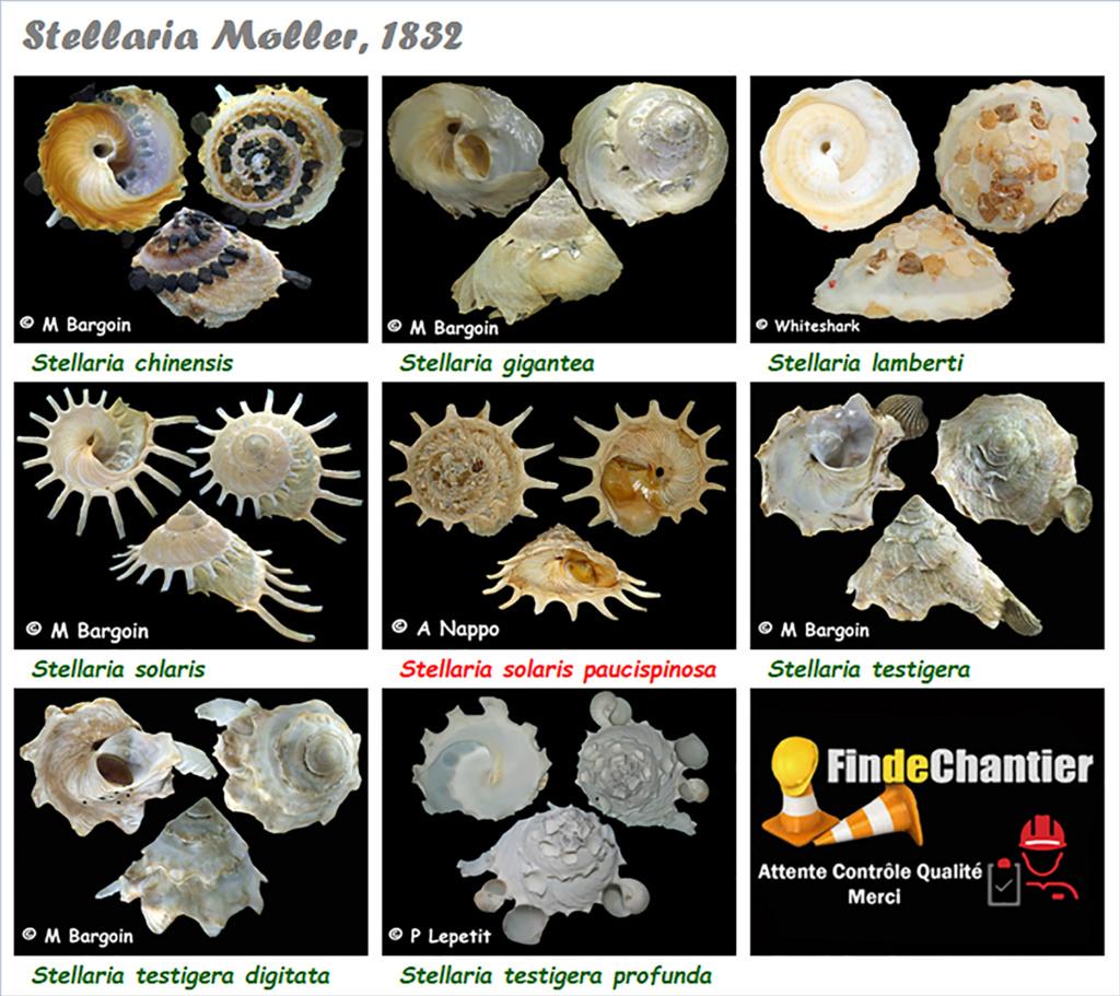 Xenophoridae Stellaria - Le genre, ses espèces, la planche Stella17