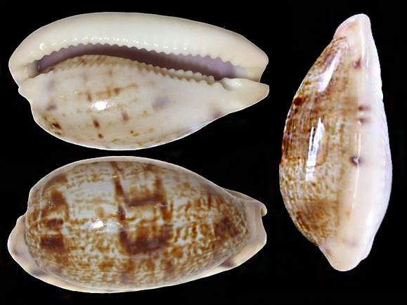 Talostolida teres natalensis - (Heiman & Mienis, 2002) Talost12