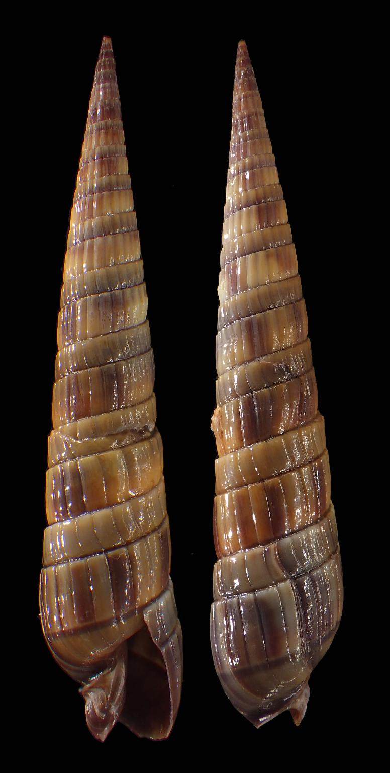Duplicaria duplicata - (Linnaeus, 1758) Terebr11