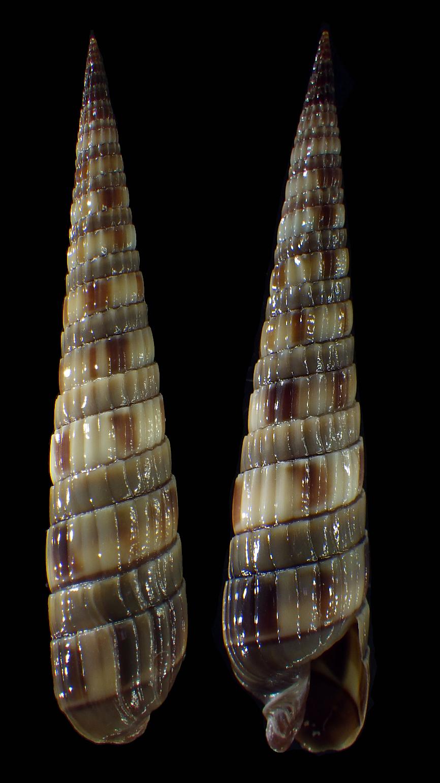 Duplicaria duplicata - (Linnaeus, 1758) Terebr12